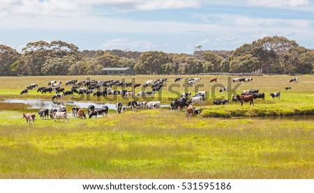 A mixed cattle farm in the Caves Road area of Margaret River in Western Australia.