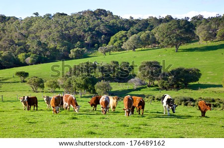 A mixed herd of cattle in the Caves Road area of the town of Margaret River in Western Australia. - stock photo