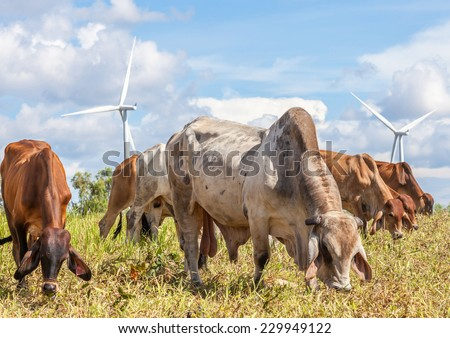 A mixed herd of cattle with windmill farm on a bright sunny day near wind electricity plant, Korat province in Thailand. - stock photo