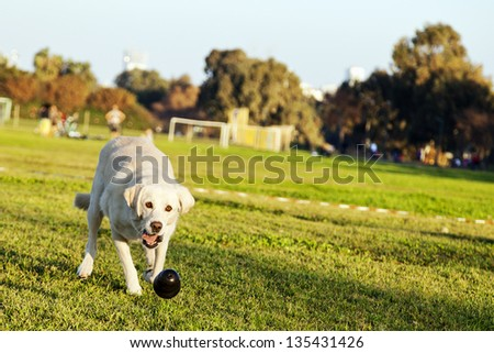 A mixed Labrador female dog caught in the middle of fetching a chew toy at the park. - stock photo