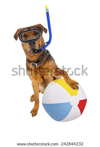 A mixed large breed dog ready for a vacation with a snorkel and beach ball - stock photo