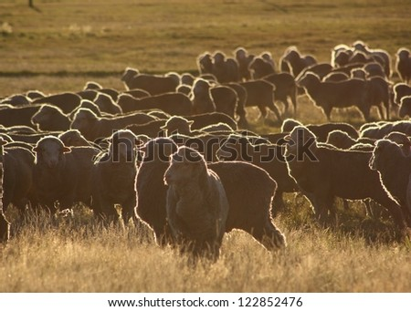 A mob of Merino ewes backlit by the sunrise in New Zealand. - stock photo