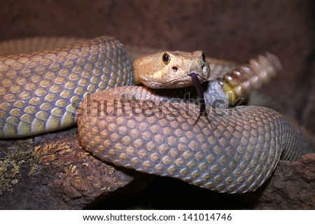 A Mojave or Mohave Rattlesnake (Crotalus scutulatus) rattles and flicks tongue in Arizona, USA.  This is the most dangerous snake in the USA. It is perhaps best known for its potent neurotoxic venom. - stock photo