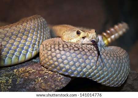 A Mojave or Mohave Rattlesnake (Crotalus scutulatus) rattles and flicks tongue in Arizona, USA.  This is the most dangerous snake in the USA. It is perhaps best known for its potent neurotoxic venom.