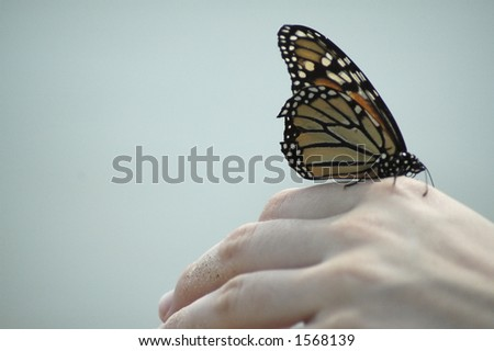 A monarch butterfly about to launch into flight from an outstretched hand. - stock photo