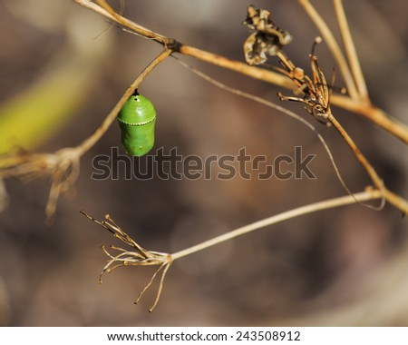 A Monarch Butterfly chrysalis cocoon attached to  a dried out milk weed. - stock photo