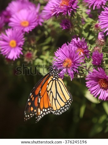 A Monarch butterfly enjoys nectar from a New England Aster flower. - stock photo