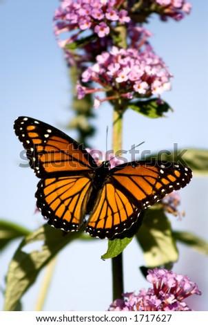 A Monarch Butterfly lands on a butterfly bush. - stock photo