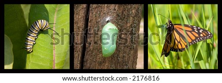 a monarch caterpillar, cocoon, butterfly framed by black - stock photo