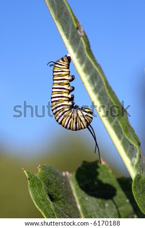 A monarch caterpillar hangs upside down on a milkweed plant. - stock photo