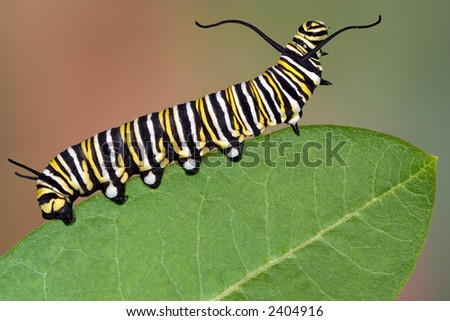 A Monarch caterpillar is crawling on a milkweed leaf. - stock photo