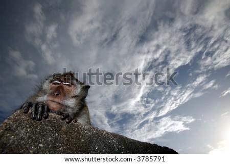 A monkey against a blue sky. - stock photo