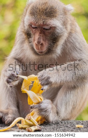 A monkey eating a banana