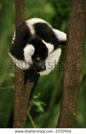 A monkey in a tree.  Shallow D.O.F ? monkey in focus, background are blurred. - stock photo
