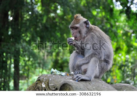 A monkey in the Monkey Forest of Ubud, Bali (Indonesia).