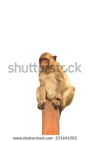 A monkey is looking and siting on pillar, white background - stock photo