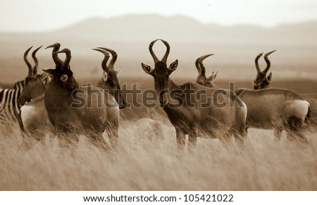 A monochrome / black and white portrait of a herd of red hartebeest antelope in Addo elephant national park,eastern cape,south africa - stock photo