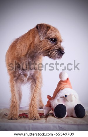 a 9 month old Border Terrier Puppy posing inside on white background