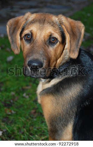 A 3 1/2 month old German Shepherd mixed breed puppy, - stock photo