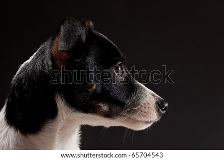 A 3 month old Rat Terrier Dog poses in the studio for a nice portrait.   Low key lighting bring out the rich colors.