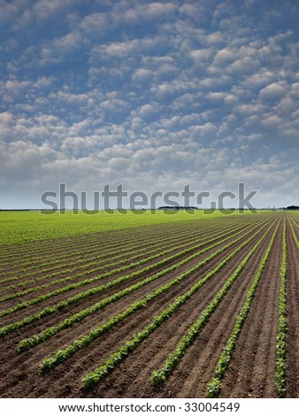 A month old red bean plants. Farmers rotate crops to preserve soil properties and beans restore Nitrogen levels. - stock photo