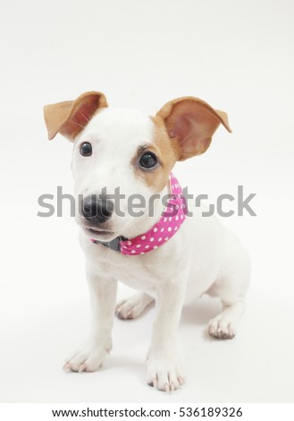 A 3-months old female jack russell terrier with a pink polka dot scarf in a sitting position on the white background