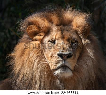 a moody lion portait on black - stock photo