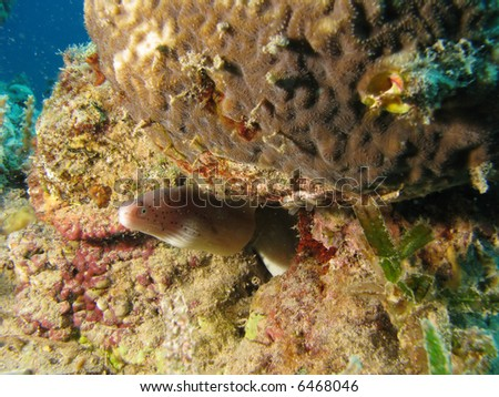 A Moray Eel near some coral