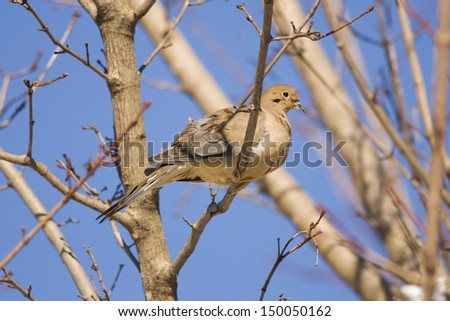 A morning dove perched in a tree - stock photo