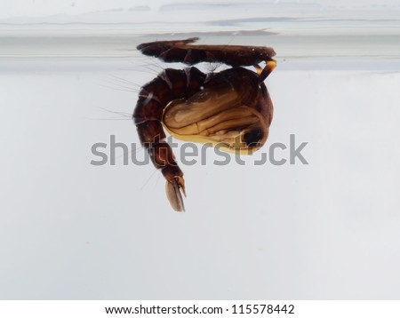 A mosquito pupa of toxorhyncites splendens - stock photo