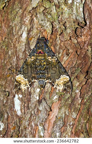 A moth camouflaged on a tree at night in Andasibe Mantadia National Park, Madagascar.