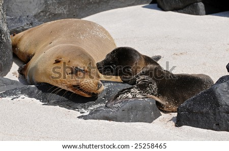 A mother and a child sea-lions are taking the solar baths on the rocks. - stock photo