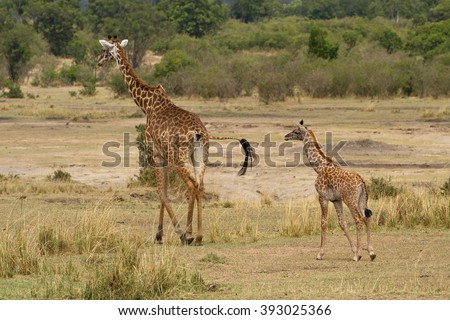 A mother and baby giraffe (Giraffa camelopardalis), the baby is less than 2 weeks old, as it still has its umbilical cord attached (just visible between legs) in the Serengeti national park, Tanzania - stock photo