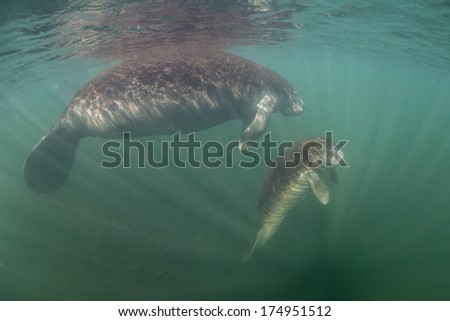 A mother and calf Florida manatee (Trichechus manatus latirostris) rise to the surface near a freshwater spring to breathe. This animal is endangered and is of great conservation concern. - stock photo