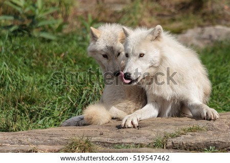 A mother arctic wolf with her juvenile cub resting on a flat rock in the summer months.