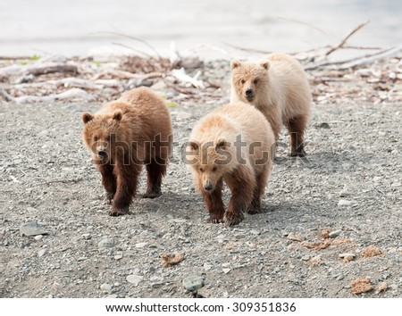 A mother brown bear with triplet cubs walking along a beach in Alaska - stock photo
