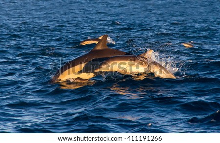 A mother dolphin and her calf jumping out of the water side by side off the coast of Napier, New Zealand - stock photo