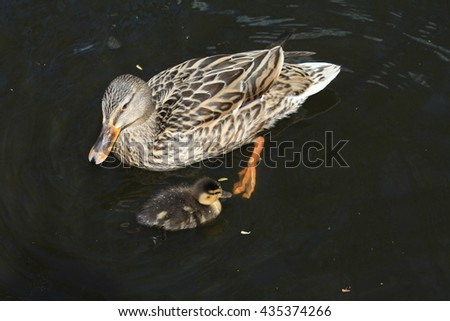 A mother duck and a small duckling - stock photo
