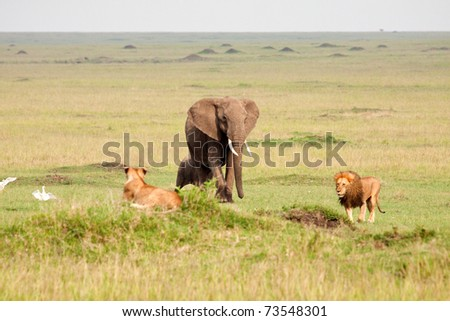 "A mother elephant escorting her calf through the territory of the ""Marsh Pride"" in Kenya's Masai-Mara national park - stock photo"