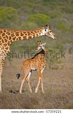 A mother Giraffe looks over its baby - stock photo