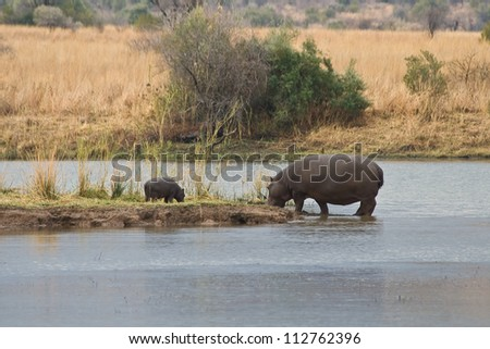 A mother Hippopotamus and her calf feeding in Pilanesberg National Park, South Africa. - stock photo