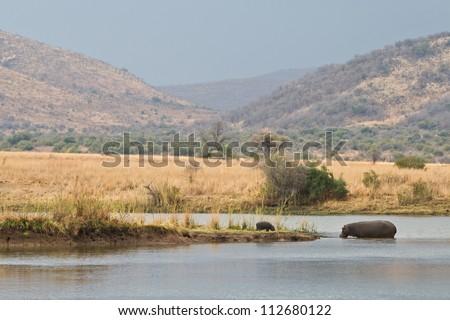 A mother Hippopotamus walks towards her calf in Pilanesberg National Park, South Africa. - stock photo