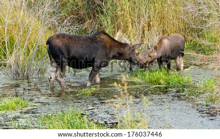 """A mother moose cow (Alces alces) and her calf """"kiss"""" as they feed in a bog in Grand Teton National Park, Wyoming - stock photo"""