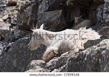A mother mountain goat rests on a rock ledge with her young kid in Logan Pass, Glacier National Park, Montana. - stock photo