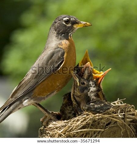 A Mother Robin caring for her babies in a nest, shallow depth of field, square crop, copy space - stock photo