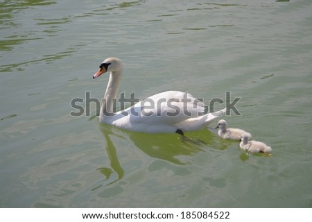 A mother swan and her two babies swimming in the water. - stock photo