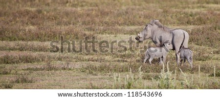 A mother warthog roots in the ground as her offspring nurse. Serengeti National Park, Tanzania - stock photo