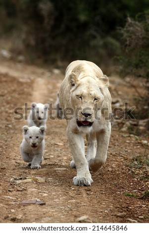 A mother white lioness leads her new born white cubs to a kill close by. - stock photo
