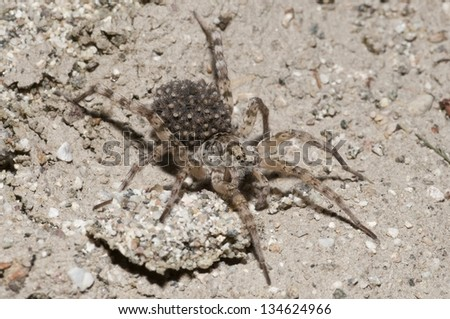 A mother wolf spider with spiderlings (baby spiders) on her back. - stock photo