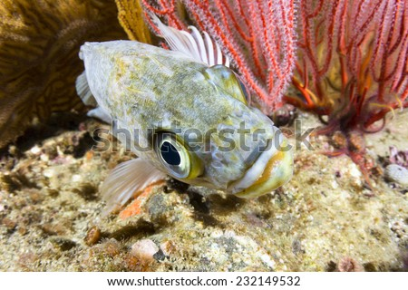 A motionless kelp rockfish rests on a reef as I move in tight with my fisheye lens to photograph it. Shot in southern California??s Channel Islands. - stock photo